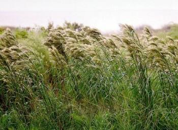 lipnicovité-trávy